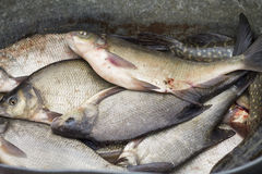 Fished Out Breams. Closeup shot of a pile of fished out bream fishes Royalty Free Stock Photos