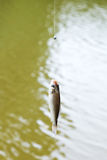 Fished out of river small bream hanging on line Royalty Free Stock Photography