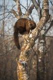 Fisher市场pennanti在树弯曲处转动  库存图片
