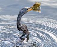Fisher копья Anhingna на природном парке largo Стоковая Фотография