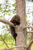 Fisher младенца на дереве Стоковое Изображение