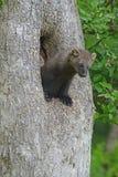 Fisher en un árbol de hueco Fotos de archivo