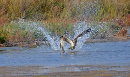 Fisher hawk. Splash of the fisher hawk in the marsh Stock Photos