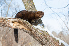 Fisher with long tail. On log Royalty Free Stock Images
