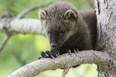 Fisher looking down. Baby fisher sitting in tree stock photography
