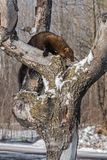 Fisher Martes pennanti Clambers Right on Tree. Captive animal royalty free stock photo