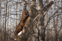 Fisher Martes pennanti Clings to Tree Royalty Free Stock Photos