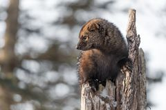 Fisher Martes pennanti Close Up in Tree. Captive animal royalty free stock photos