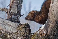 Fisher Martes pennanti Curled in Tree Looking Left. Captive animal stock image