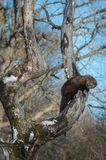 Fisher Martes pennanti Hangs Out in Winter Tree stock image