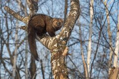 Free Fisher Martes Pennanti Hunched Up In Tree Winter Stock Photo - 179196510