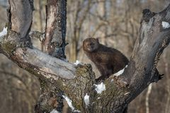 Fisher Martes pennanti Looking Out From Tree. Captive animal stock images