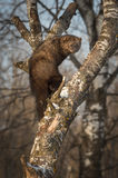 Fisher Martes pennanti Looks Back in Crook of Tree. Captive animal Stock Photography