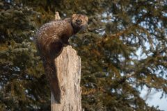 Fisher Martes pennanti Looks Back and Left From Tree. Captive animal royalty free stock photography