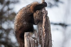 Fisher Martes pennanti Looks Down Tree Trunk Winter. Captive animal stock image
