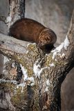 Fisher Martes pennanti Looks Left From Branches. Captive animal stock images