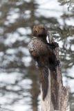 Fisher Martes pennanti Looks Left Over Shoulder. Captive animal stock images