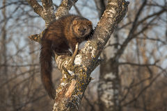 Fisher Martes pennanti Looks Out from Crook in Tree. Captive animal stock photos