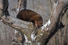 Fisher Martes pennanti Nose Down in Tree. Captive animal royalty free stock photography