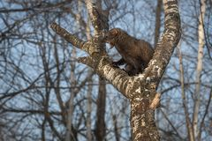 Fisher Martes pennanti Open Mouth in Tree. Captive animal royalty free stock photos