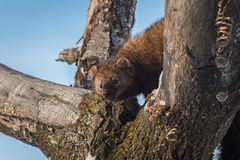Fisher Martes pennanti Peers Around Branch. Captive animal stock image