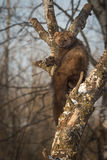 Fisher Martes pennanti Peers Out from Crook in Tree. Captive animal Royalty Free Stock Photo
