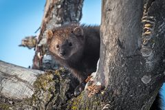 Fisher Martes pennanti Peers Out of Tree. Captive animal royalty free stock photos
