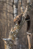 Fisher Martes pennanti Pushes Snow Off Tree Royalty Free Stock Photos