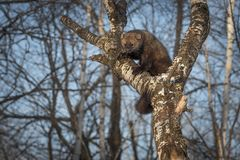 Fisher Martes pennanti Shows Off Claws in Tree. Captive animal royalty free stock photography
