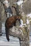 Fisher Martes pennanti Sits in Tree Tail Hanging. Captive animal stock photo