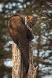 Fisher Martes pennanti Sniffs Curled Around Tree Royalty Free Stock Photo