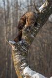 Fisher Martes pennanti spojrzenia Zestrzelają Drzewnego bagażnika Obraz Royalty Free
