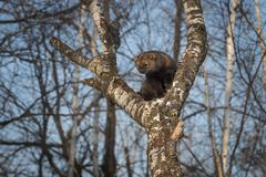 Fisher Martes pennanti Stares Out from Crook of Tree Winter. Captive animal stock photography