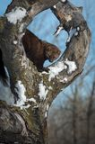 Fisher Martes pennanti in Tree Circle. Captive animal royalty free stock photography