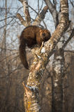 Fisher Martes pennanti Turns in Crook of Tree. Captive animal Stock Image