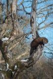 Fisher Martes pennanti Wiesza Za zimy drzewie w obraz stock
