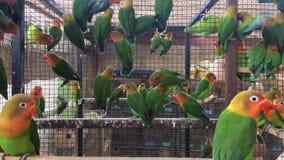 Fisher Parrot Colony - barnförälskelsefåglar i ett stort antal stock video