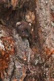 Fisher (pennanti de Martes) Kit Peeks Out From Log photos libres de droits