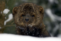 Fisher Portrait in snow royalty free stock photos