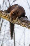 Fisher que mira abajo de árbol Fotografía de archivo libre de regalías
