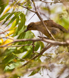 Fisher's Greenbul Royalty Free Stock Photo