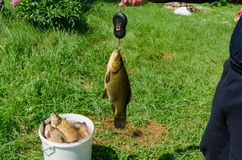 Fisher weighs shiny big tench fish Royalty Free Stock Images
