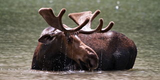 Fishercap Moose Stock Photo