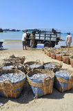 Fisheries are located on the beach in many baskets waiting for uploading onto the truck to the processing plant Royalty Free Stock Photography