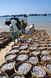 Fisheries are located on the beach in many baskets waiting for uploading onto the truck to the processing plant Stock Photography