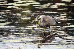 The Fisherman. Great Blue Heron catching a small fish in Algonquin Provincial Park, Canada Stock Image