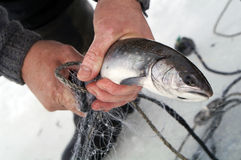Fisherman. Pulls out fish from-under ice Stock Photos