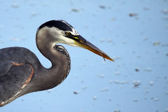 The Fisherman. Closeup of a Great Blue Heron fishing in a pond Stock Image