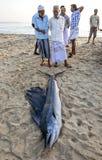 Fisherman admire a marlin caught off Arugam Bay in Sri Lanka. Stock Image