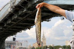 Fisherman with big fish on the embankment of the Moskva River Stock Photos